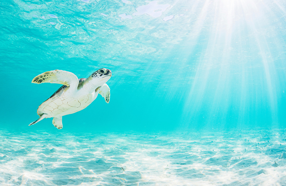 """Green sea turtle (Chelonia mydas) near the surface in shallow water in The Bahamas. *Note: This image is only for sale for Rights Managed or as a limited edition print. See my """"Limited Editions"""" under the PRINTS tab for more information or send me an email for a quote."""