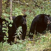 Black Bear, (Ursus americanus) Minnesota, sow with yearlings sitting in dense brush. Early fall.