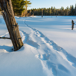 River otter tracks on a frozen beaver pond in Epping, New Hampshire.