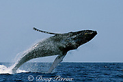 humpback whale breaching, Megaptera novaeangliae, Threatened Species, Hawaii, USA ( Central Pacific Ocean ) 2 in sequence of 3