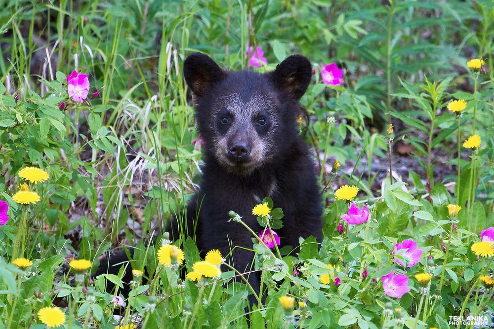 A black bear cub enjoys spring flowers.