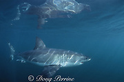great white shark, white pointer, blue pointer, or man-eater<br /> Carcharodon carcharias, False Bay, South Africa ( Indian Ocean )