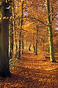 Beechwood forest in autumn, UK