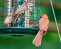 Northern Cardinal, House Finch. Image taken with a Nikon D810a camera and 600 mm f/4 VR lens.