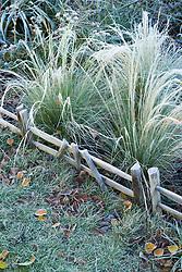 Stipa tenuissima in frost