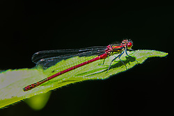 © Licensed to London News Pictures. 09/06/2021. London, UK. A rare red dragonfly sitting on a leave in a garden in north London. The Japanese consider red dragonflies to be 'very sacred,' offering a symbol of courage, strength and happiness. American Indians believe red dragonflies can 'bring a time of rejuvenation after a long period of trials and hardship'. Photo credit: Dinendra Haria/LNP