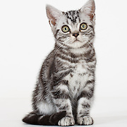 20160815 American Shorthair and Maine Coon Cats