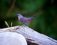 Grey Catbird Distracting Me From Its Nest. Backyard Summer Nature in New Jersey. Image taken with a Nikon D4 and 80-400 mm VRII lens (ISO 1600, 400 mm, f/5.6, 1/40 sec). Hand-held, the vibration reduction on this new lens is good.