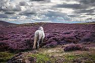 White horse alone in remote landscape with purple heather