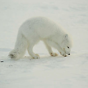 Arctic Fox (Alopex lagopus) Hudson Bay, Cape Churchill, near Churchill, Manitoba, November