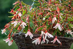 Begonia 'Million Kisses Elegance'