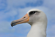 laysan albatross close up