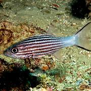 Intermediate Cardinalfish inhabit reefs. Picture taken Lembeh Straits, Sulawesi, Indonesia