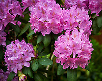 Rhododendron after the rain. Image taken with a Nikon D850 camera and 60 mm f/2.8 macro lens.