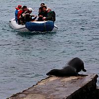 South America, Ecuador, Galapagos, South Plaza Island. Galapagos Sea lion beats zodiac to the dock!