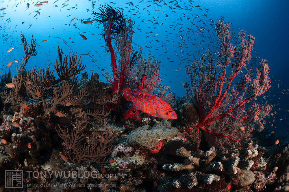 This is a coral grouper (Cephalopholis miniata) pictured with a typical reef scene in the Japanese island of Kumejima in Okinawa.