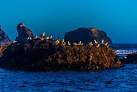 Sea birds, Bandon beach, Oregon USA.