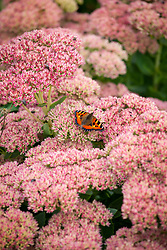 Butterfly on Sedum 'Autumn Joy' syn. Sedum (Herbstfreude Group) 'Herbstfreude'