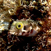 Spinyhead Blenny inhabit dead and living coral in the Bahamas and Caribbean; reside in worm tubes, perch with head extended; picture taken St. Vincent.