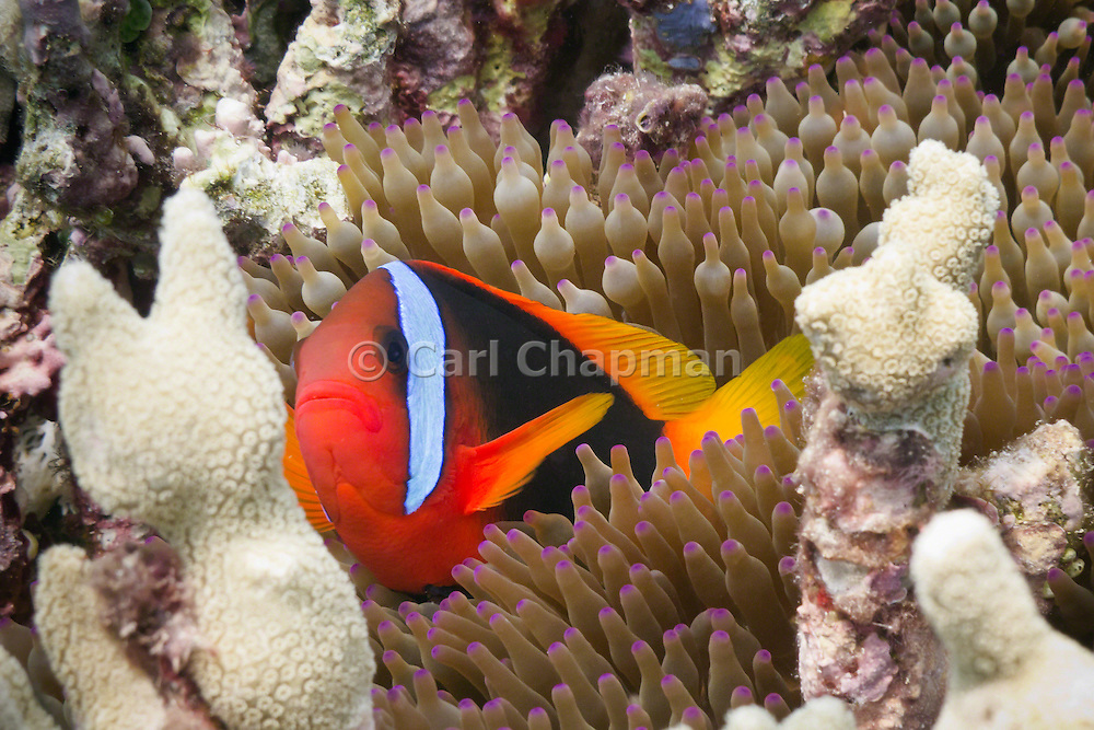Red Black Anemonefish (Amphiprion melanopus) in Bulb Tentacle Sea Anemone (entacmaea quadricolor) - Agincourt Reef, Great Barrier Reef, Queensland, Australia. <br /> <br /> Editions:- Open Edition Print / Stock Image