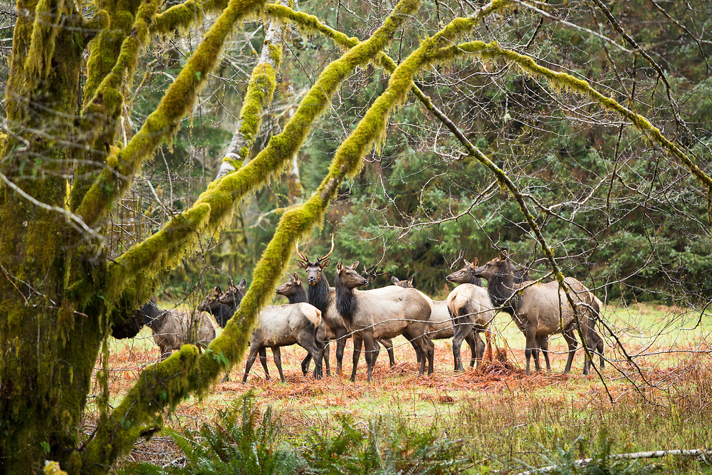 Elk near the Quinault River. Olympic National Park, WA.
