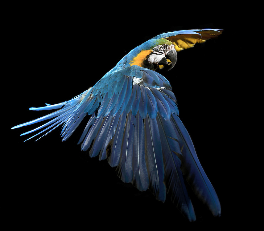Blue Gold Macaw, (Ara ararauna), captive, credit: Pandemonium Aviaries/M.D.Kern