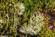 Reindeer Lichen in bed of moss