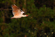 Crested ibis, Nipponia nippon, earlier believed extinct, but now coming back, flying in the air at sunset time in Yangxian Nature Reserve, Shaanxi, China