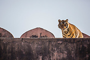 Wild Bengal tiger standing on the top of a stone gated fortress looking down, Ranthambore National Park, Rajasthan, India