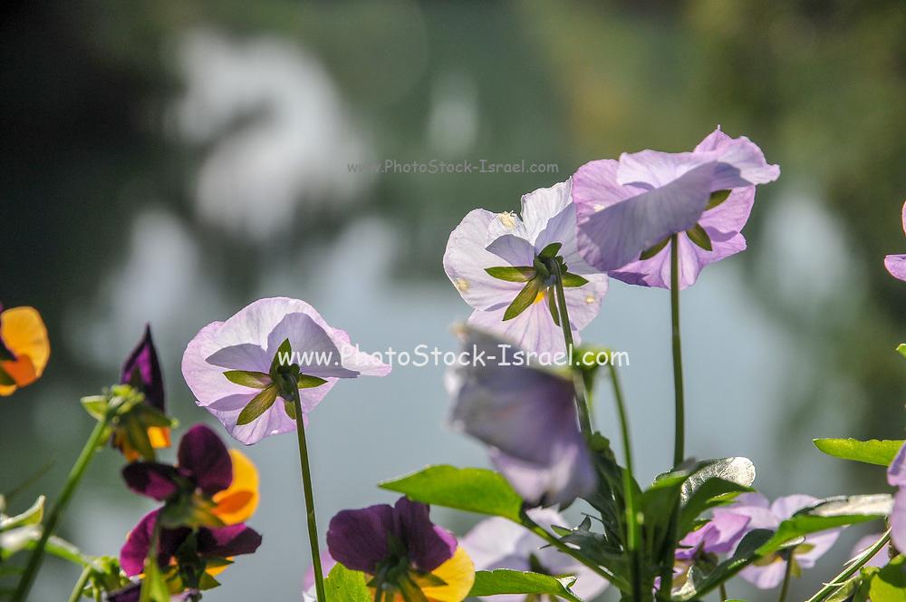 flowering garden. Blooming colourful pansies flowers