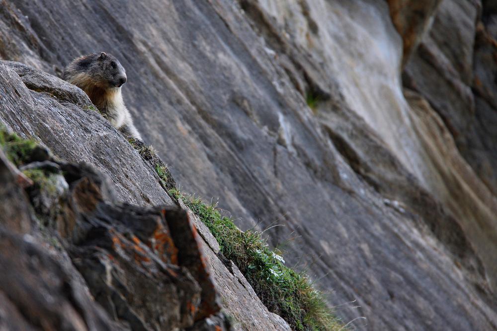 Alpine Marmot (Marmota marmota) on rock, Hohe Tauern National Park, Carinthia, Austria