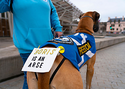 Edinburgh, Scotland, UK. 31 January, 2020. Sheldon the Great Dane dog outside the Scottish Parliament at Holyrood with an anti-Brexit and pro Scottish independence message to Boris Johnson. Iain Masterton/Alamy Live News.
