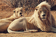 Casper the Lion needs surgery or he will be be paralysed<br /> <br /> Casper was six months and very playful and we did not see what really happened, but it can be from playing on the obstacles in his enclosure and from playing rough and fell down on his shoulder.  Afterwards we saw that he walked limp and week by week it got worse.  He was very grumpy and the cause was pain.  We took him to the vet (VETS@HALDON, Animal Hospital, Dr. Keri Beviss-Challinor (BSc. BVSc) -   She put him immediately on pain medication and took him for X-rays.  The X-rays did not show anything wrong with his neck, back and pelvis.  Then she arranged for a MRI scan at the human hospital University Hospital, in Bloemfontein.  The MRI scan showed that he has two fractures on his shoulder.  We immediately contacted the specialist in Johannesburg, Dr. Fanie Noude - JHB Specialist Veterinarian Centre -   Now we need and wait for funds to send him for an operation.  In the meantime he is still on pain medication and it is not good for his organs and he is still not walking.  The owner of Zanchieta (Lizette van Schalkwyk -  already paid for all the vet expenses and scans and she will not allow Casper not to go for surgery - she will arrange for a private loan at a South African Bank to cover the rest of the expenses for the operation and aftercare if insufficient funds are received, casper will not die <br /> but he will be paralysed if he does not have his operation<br /> all donations can be made to casper's facebook page (save Capser)<br /> Photo shows: Casper's parents<br /> ©Exclusivepix<br /> <br /> For extra copy if your client needs please email casper's owner<br /> info@zanchieta.co.za, Lizette van Schalkwyk.