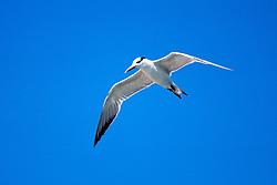 royal tern, Sterna maxima, in flight.John Pennekamp Coral Reef State Park.Key Largo, Florida.