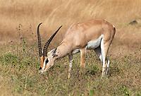 Grant's Gazelle, Nanger granti, grazing in Ngorongoro Crater, Ngorongoro Conservation Area, Tanzania