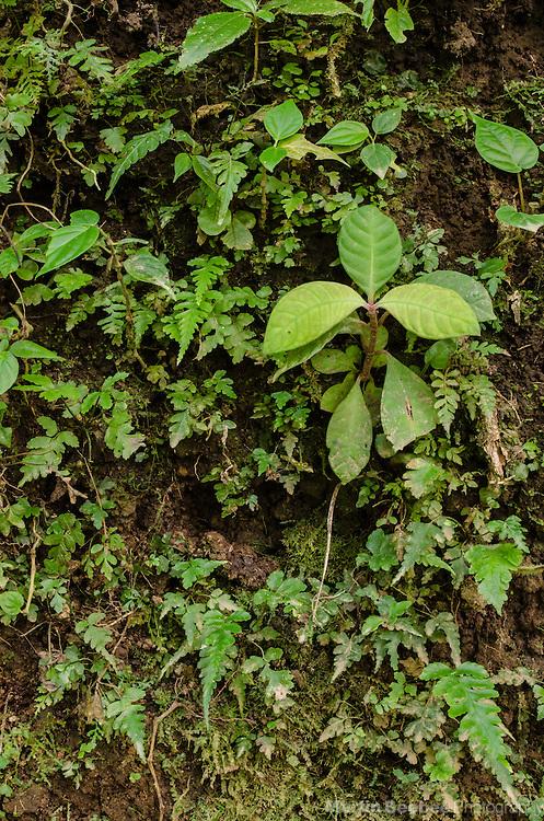 Rainforest plants cover a bank near El Castillo, Costa Rica