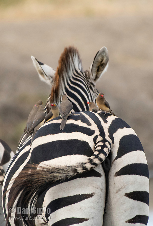 Six Red-billed Oxpeckers, Buphagus erythrorhynchus, stand on the back of a Grant's Zebra, Equus quagga boehmi, in Tarangire National Park, Tanzania