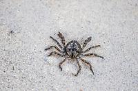 Crown Crab,, De Mond Nature Reserve, Western Cape, South Africa