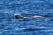 A  polar bear (Ursus maritimus) swimming in the water ,Svalbard, Norway