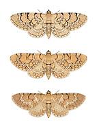 70.155 (1823)<br /> Netted Pug - Eupithecia venosata