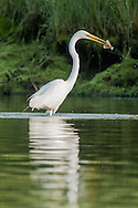 A great egret stabs a small flounder in Round Cove, Harwich.