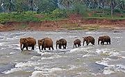 A family herd of asian elephants walking single file upriver through fast flowing water