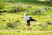 Secretary Bird (Sagittarius serpentarius) in the savanna. Photographed in Serengeti National Park, Tanzania