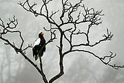 Steller's Sea Eagle, Haliaeetus pelagicus, perched high in tree branches, foggy day, Okhotsk Sea, Rausu, Hokkaido, Japan, japanese, Asian, wilderness, wild, untamed, photography, ornithology, snow, bird of prey, Vulnerable