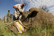 White Rhinoceros (Ceratotherium simum) immobilized for relocation. Conservation Solutions Vet Andre Uys<br /> Private Game Reserve<br /> SOUTH AFRICA<br /> RANGE: Southern & East Africa<br /> ENDANGERED SPECIES