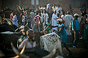 A cattle driver whips a bull with a rope before dragging it <br /> to a slaughter house in a suburb of Bangui. Working as a team, these young men are hired by the bull owners who purchase the bulls in the livestock market, and pay young men 2,000 CFA (about 4 USD) to take a bull to the slaughter house.  The cows are mostly herded from Chad, Sudan, and as far as Niger, traveling up to two weeks to reach Bangui. They could be sold from 500,000 CFA (about 1,000 USD) to 700,000 CFA (about 1,470 USD) per cow.