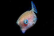 UNDERWATER MARINE LIFE HAWAII FISH: Trunkfish Ostraciidae