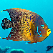 Semicircle Angelfish inhabit reefs. Picture taken Fiji.