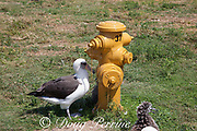 Laysan albatross, Phoebastria immutabilis, rests in the shade of a fire hydrant, Sand Island, Midway Atoll, Midway National Wildlife Refuge, Papahanaumokuakea Marine National Monument, Northwest Hawaiian Islands, USA ( North Pacific Ocean )