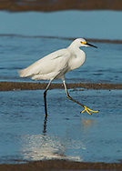 A snowy egret caught mid-stride in the shallow water off Paine's Creek Beach.